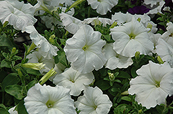 Easy Wave White Petunia (Petunia 'Easy Wave White') at Peck's Green Thumb Nursery