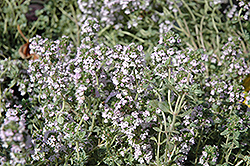 Bright Silver Lemon Thyme (Thymus x citriodorus 'Bright Silver') at Peck's Green Thumb Nursery
