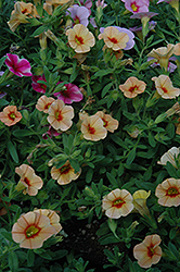 Can-Can® Apricot Calibrachoa (Calibrachoa 'Can-Can Apricot') at Peck's Green Thumb Nursery