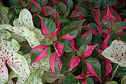 Party Time Alternanthera (Alternanthera ficoidea 'Party Time') at Peck's Green Thumb Nursery