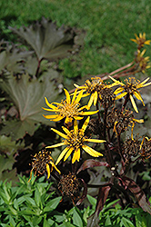 Osiris Cafe Noir Rayflower (Ligularia 'Osiris Cafe Noir') at Peck's Green Thumb Nursery