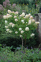 Limelight Hydrangea (tree form) (Hydrangea paniculata 'Limelight (tree form)') at Peck's Green Thumb Nursery