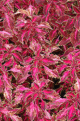 Chaotic Rose Coleus (Solenostemon scutellarioides 'Chaotic Rose') at Peck's Green Thumb Nursery