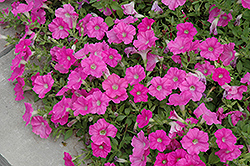 Easy Wave® Pink Petunia (Petunia 'Easy Wave Pink') at Peck's Green Thumb Nursery
