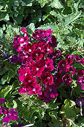 Lanai® Royal Purple with Eye Verbena (Verbena 'Lanai Royal Purple with Eye') at Peck's Green Thumb Nursery