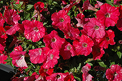 Supertunia® Watermelon Charm Petunia (Petunia 'Supertunia Watermelon Charm') at Peck's Green Thumb Nursery