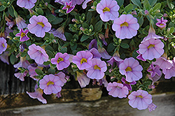 Superbells® Miss Lilac Calibrachoa (Calibrachoa 'Superbells Miss Lilac') at Peck's Green Thumb Nursery