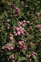 Sweet™ Snowberry (Symphoricarpos x doorenbosii 'Kolmagics') at Peck's Green Thumb Nursery
