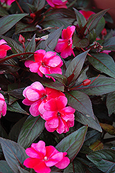 Celebration Rose Star New Guinea Impatiens (Impatiens hawkeri 'Celebration Rose Star') at Peck's Green Thumb Nursery
