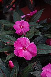Celebration Pink New Guinea Impatiens (Impatiens hawkeri 'Celebration Pink') at Peck's Green Thumb Nursery