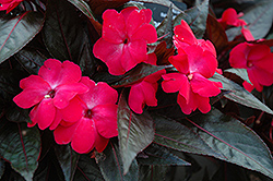 Celebration Electric Rose New Guinea Impatiens (Impatiens hawkeri 'Celebration Electric Rose') at Peck's Green Thumb Nursery