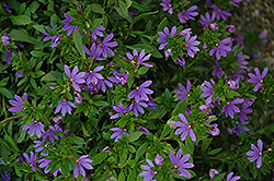 Bombay Dark Blue Fan Flower (Scaevola aemula 'Bombay Dark Blue') at Peck's Green Thumb Nursery