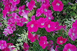 Wave Rose Petunia (Petunia 'Wave Rose') at Peck's Green Thumb Nursery