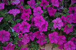 Wave Lavender Petunia (Petunia 'Wave Lavender') at Peck's Green Thumb Nursery