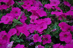 Easy Wave® Neon Rose Petunia (Petunia 'Easy Wave Neon Rose') at Peck's Green Thumb Nursery