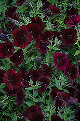 Debonair Black Cherry Petunia (Petunia 'Debonair Black Cherry') at Peck's Green Thumb Nursery