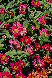 Profusion Cherry Zinnia (Zinnia 'Profusion Cherry') at Peck's Green Thumb Nursery
