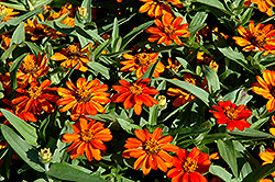 Profusion Orange Zinnia (Zinnia 'Profusion Orange') at Peck's Green Thumb Nursery