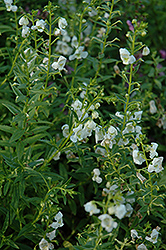 AngelMist® White Angelonia (Angelonia angustifolia 'AngelMist White') at Peck's Green Thumb Nursery