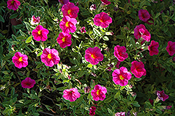 Superbells® Cherry Red Calibrachoa (Calibrachoa 'Superbells Cherry Red') at Peck's Green Thumb Nursery
