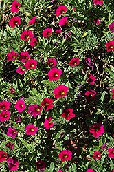 MiniFamous® Compact Watermelon Calibrachoa (Calibrachoa 'MiniFamous Compact Watermelon') at Peck's Green Thumb Nursery