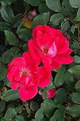 Red Knock Out® Rose (Rosa 'Red Knock Out') at Peck's Green Thumb Nursery