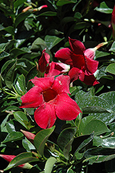 Red Mandevilla (Mandevilla 'Red') at Peck's Green Thumb Nursery