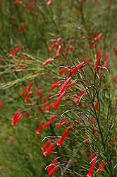 Firecracker Plant (Russelia equisetiformis) at Peck's Green Thumb Nursery