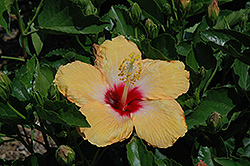 Cherie Hibiscus (Hibiscus rosa-sinensis 'Cherie') at Peck's Green Thumb Nursery