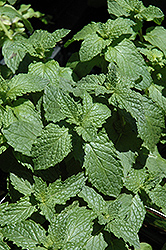 Mojito Mint (Mentha x villosa 'Mojito') at Peck's Green Thumb Nursery