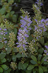 Mint Chip Bugleweed (Ajuga 'Mint Chip') at Peck's Green Thumb Nursery