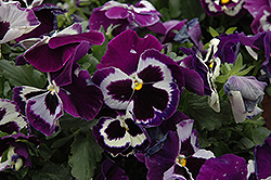 Delta Violet With Face Pansy (Viola x wittrockiana 'Delta Violet With Face') at Peck's Green Thumb Nursery