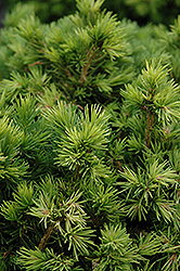 Tompa Dwarf Spruce (Picea abies 'Tompa') at Peck's Green Thumb Nursery