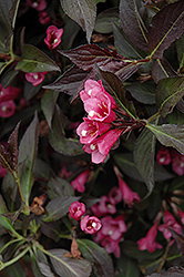 Spilled Wine® Weigela (Weigela florida 'Bokraspiwi') at Peck's Green Thumb Nursery