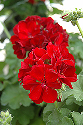 Calliope® Burgundy Geranium (Pelargonium 'Calliope Burgundy') at Peck's Green Thumb Nursery