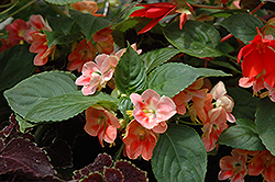 Fusion Heat Coral Impatiens (Impatiens 'Fusion Heat Coral') at Peck's Green Thumb Nursery