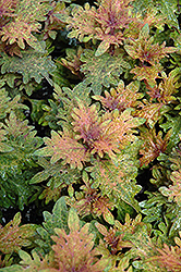 Limon Blush Coleus (Solenostemon scutellarioides 'Limon Blush') at Peck's Green Thumb Nursery