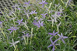 Beth's Blue Laurentia (Isotoma axillaris 'Beth's Blue') at Peck's Green Thumb Nursery