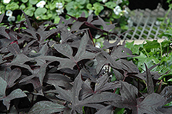Blackie Sweet Potato Vine (Ipomoea batatas 'Blackie') at Peck's Green Thumb Nursery