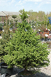 North Star Spruce (Picea glauca 'North Star') at Peck's Green Thumb Nursery
