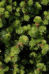 Sherwood Compact Norway Spruce (Picea abies 'Sherwood Compact') at Peck's Green Thumb Nursery