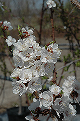 Sungold Apricot (Prunus 'Sungold') at Peck's Green Thumb Nursery