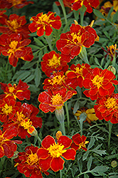 Safari Red Marigold (Tagetes patula 'Safari Red') at Peck's Green Thumb Nursery