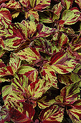 Wizard Mosaic Coleus (Solenostemon scutellarioides 'Wizard Mosaic') at Peck's Green Thumb Nursery