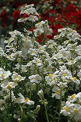 Sunsatia Coconut Nemesia (Nemesia 'Sunsatia Coconut') at Peck's Green Thumb Nursery