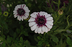 3D Berry White African Daisy (Osteospermum '3D Berry White') at Peck's Green Thumb Nursery