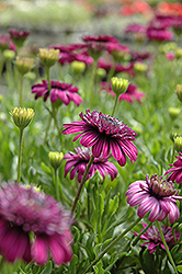 3D Purple African Daisy (Osteospermum '3D Purple') at Peck's Green Thumb Nursery