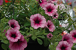 Supertunia® Mini Rose Veined Petunia (Petunia 'Supertunia Mini Rose Vein') at Peck's Green Thumb Nursery