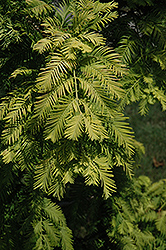 Gold Rush Dawn Redwood (Metasequoia glyptostroboides 'Gold Rush') at Peck's Green Thumb Nursery