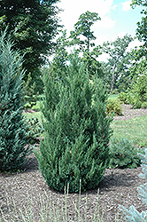 Blue Point Juniper (Juniperus chinensis 'Blue Point') at Peck's Green Thumb Nursery